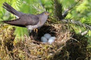 Vogelnest mit Kuckuck, kurz bevor sie ihr Ei ins fremde Nest legt. Digitale Bildbearbeitung von Liane Scholl