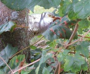 digital modifizierte Farbaufnahme von einem Kuckuck im Baum mit einer Raupe im Schnabel