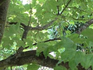 Aufnahme einer Baumkrone von innen